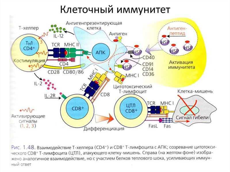 Клеточный иммунитет схема действия